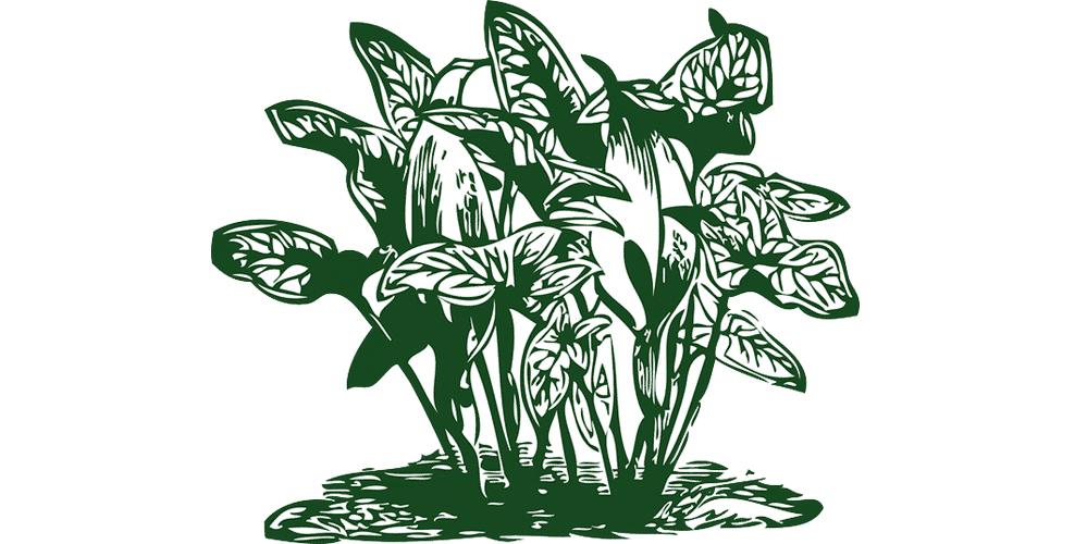 交配により多彩な葉模様の新種が生み出されるカラジウム