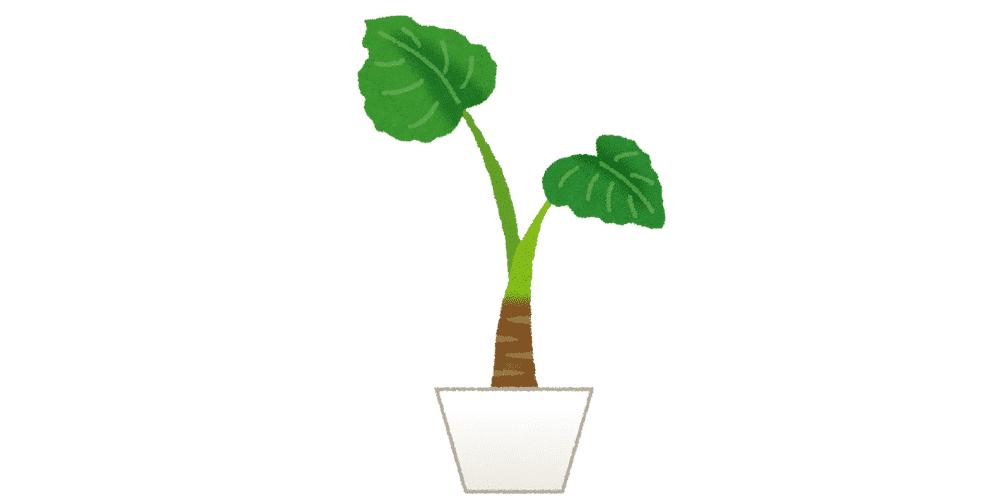 大きな葉っぱに熱帯特有の生命力が感じられるアロカシア
