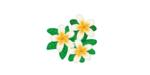 フランジパニのミニチュア版と勘違いされるアデニウム【乾燥気候に耐えるための水分を貯える塊茎が特徴】