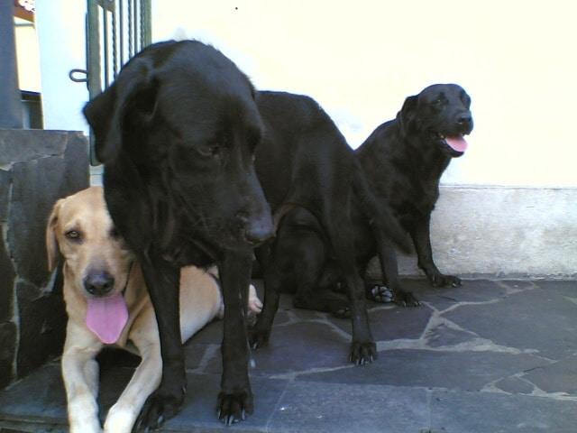 ラブラドール犬には黄色、黒、茶色の3色います。