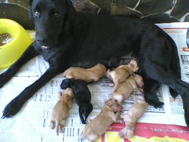 メンデルの法則に従うラブラドール犬の色の遺伝