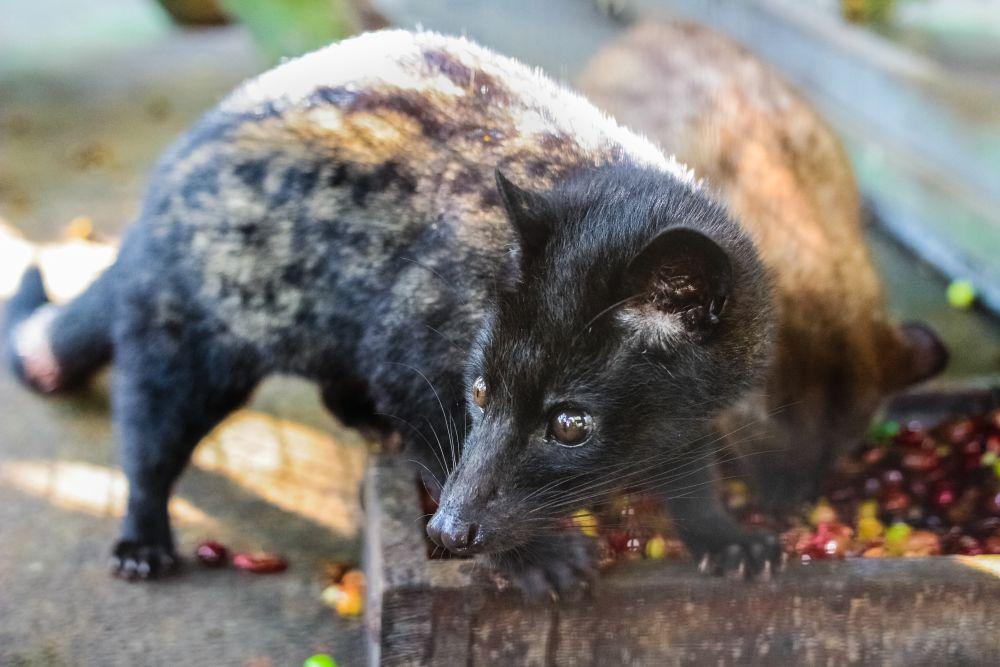 ネコというよりネズミ似のルワック