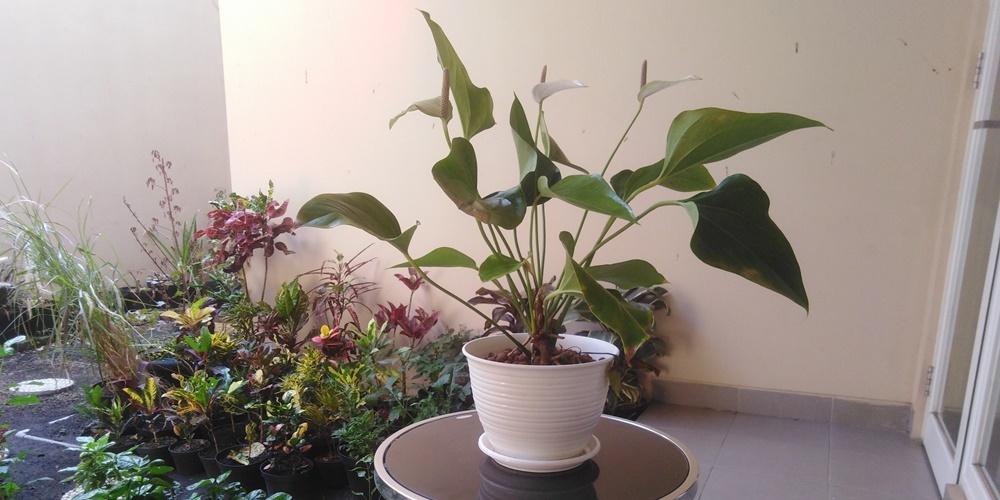 仏炎苞(ぶつえんほう)から伸びる肉穂花序(にくすいかじょ)が特徴的なアンスリウム