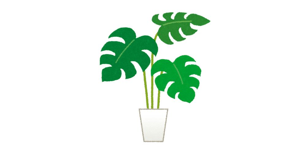 葉の切れ目や穴から幸運の光を通すと言われるモンステラ【コロナ禍で観葉植物の価格が高騰】